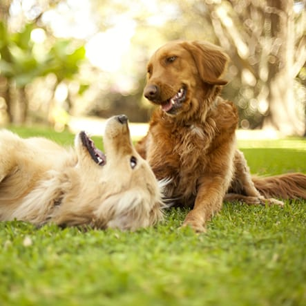 Pet Laser Surgery in Altadena: Dogs Playing Outside